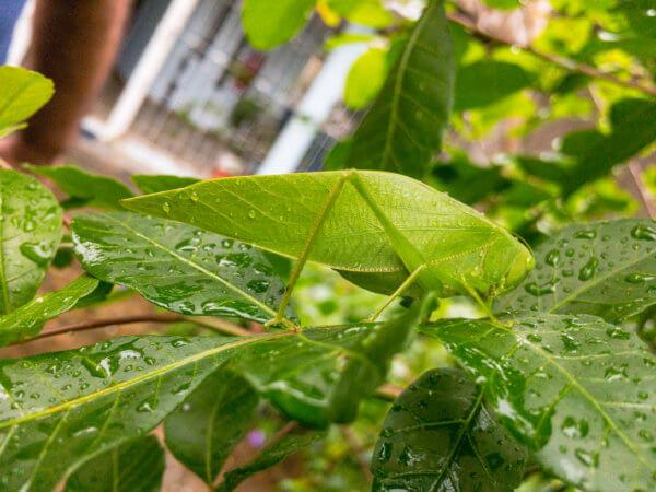 Grasshopper (Gafanhoto Esperança)
